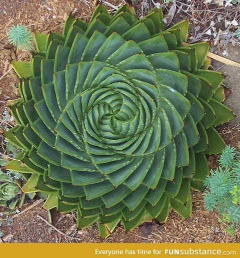 Spiral aloe, sometimes nature can be perfect