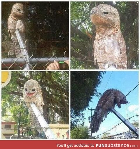 Great Potoo's are creepy motherf*ckers