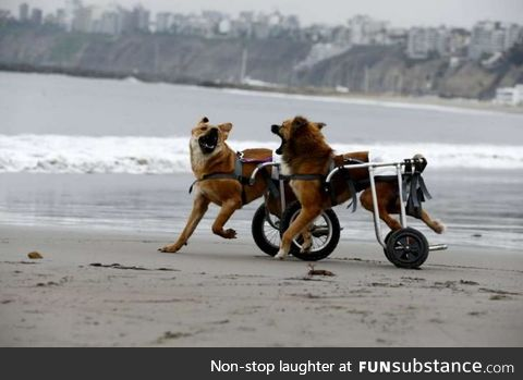 Two paraplegic dogs having a good time at the beach :D