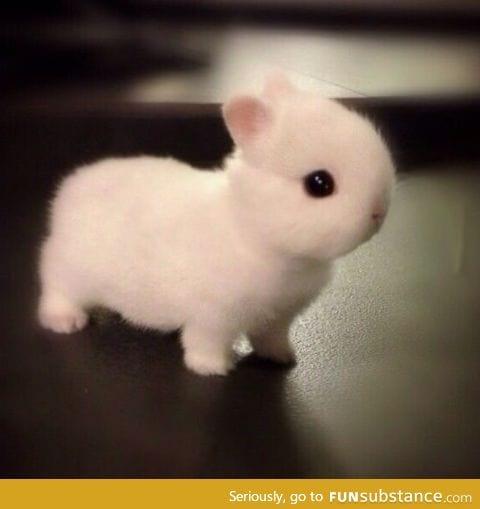 Cute Norwegian Netherlands dwarf bunny
