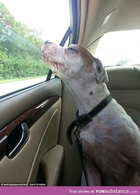 Old dog enjoying his last car trip, before being put down