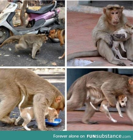 This monkey protects this puppy from stray dogs. Makes sure the puppy eats first