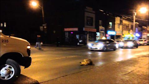 Heartbroken raccoon tries to wake up its dead friend