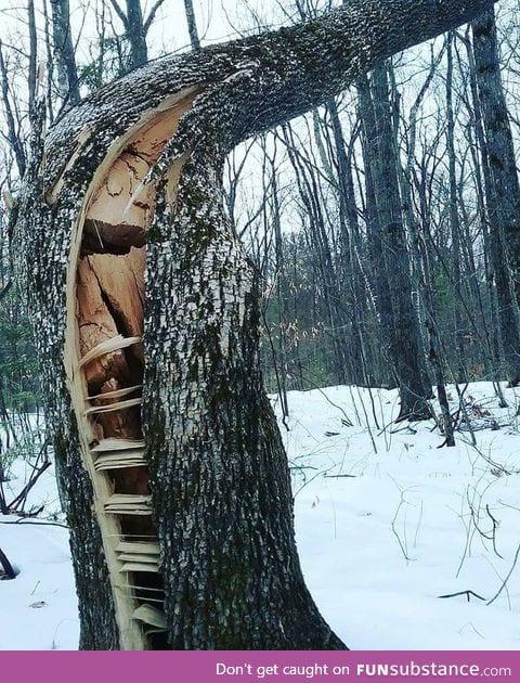 Wind cracked tree