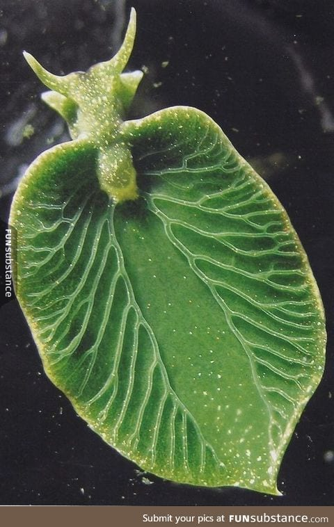 A sea slug that can photosynthesize