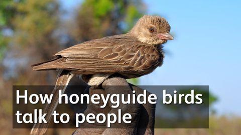 How honeyguide birds talk to people