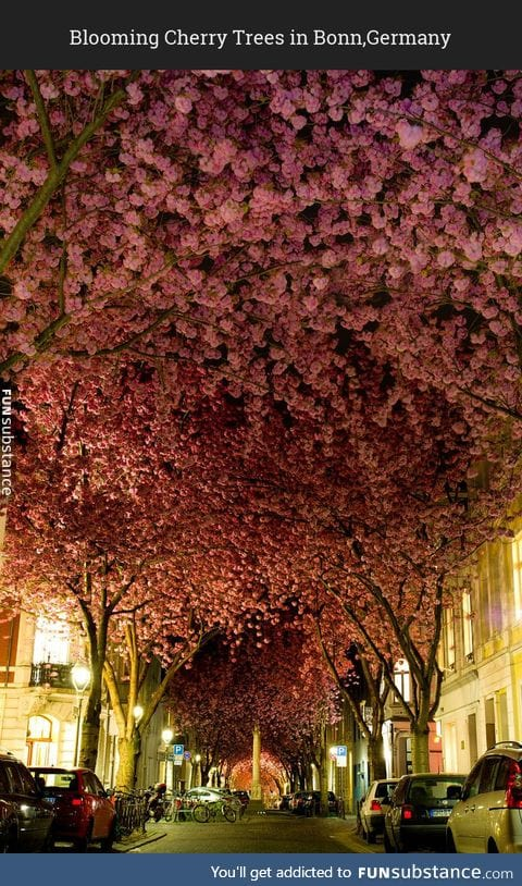 Beautiful cherry trees as shelter