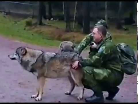 How to show a wolf who's the boss