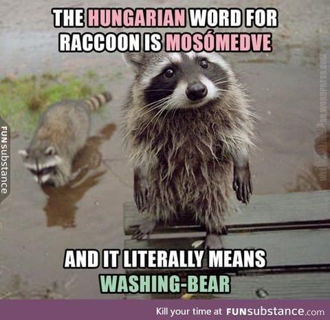 'Raccoon' in Hungarian