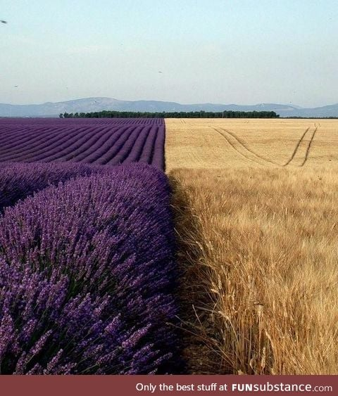 Lavender field next to a wheat field
