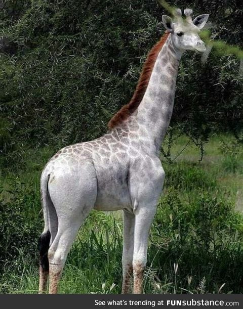 An albino giraffe