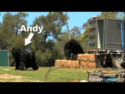 Two Australian comedians pretending to be Gorillas at a zoo