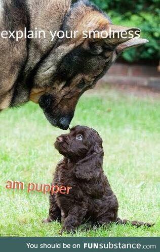 Smol pupper meets doggo
