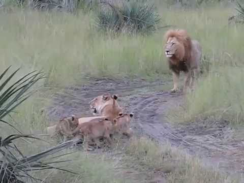 Lion cubs trying to roar like dad