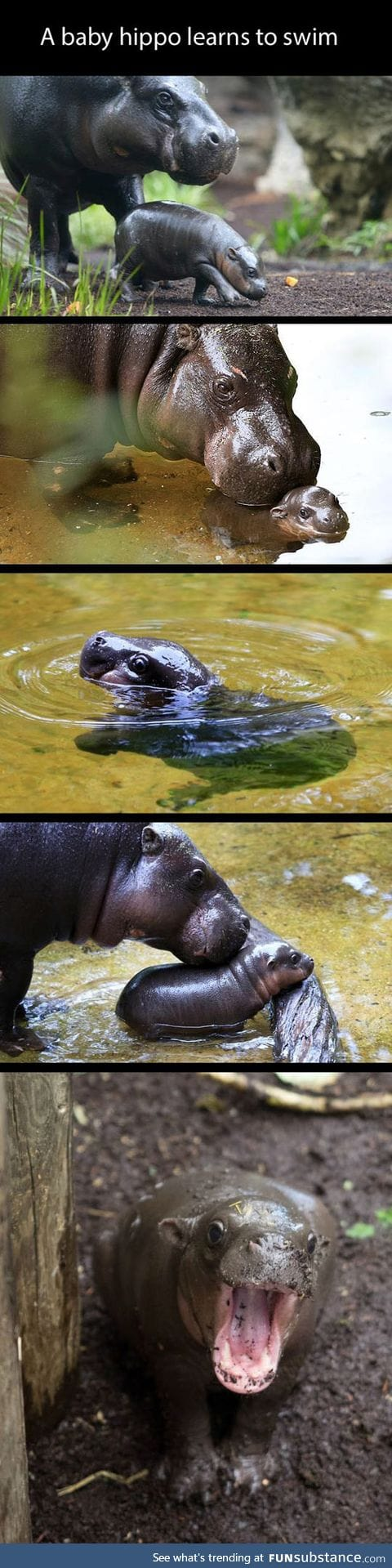 This baby hippo makes me happy