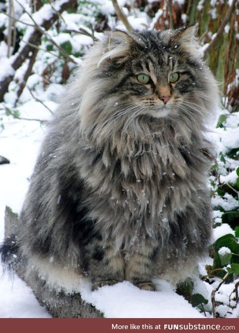 Norwegian Forest Cats need to be known by all