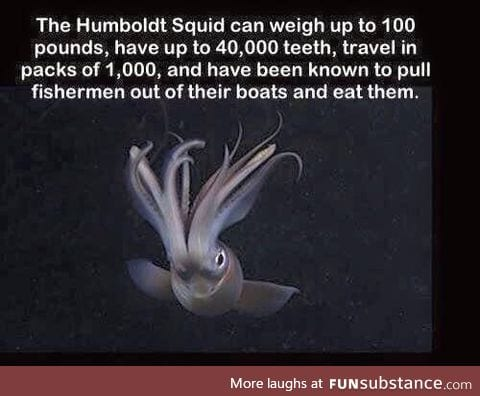 Fact about the Humboldt Squid