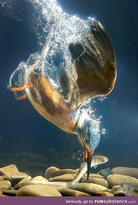 Best Shot of Kingfisher Diving