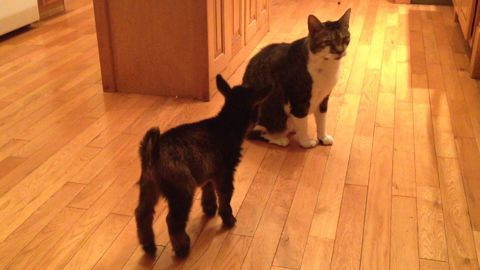 Baby Goat Tries to Headbutt Cat