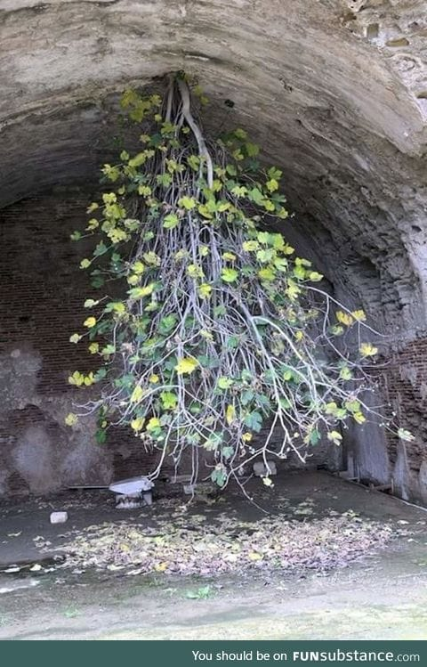 This upside-Down Fig tree has a strong will to live