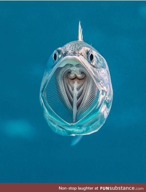 Mackerel with its mouth open