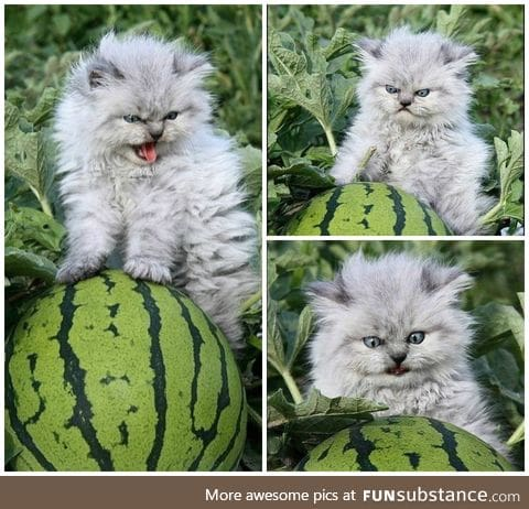 This cat is very protective over the watermelons