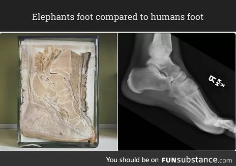 Elephants foot compared to humans foot