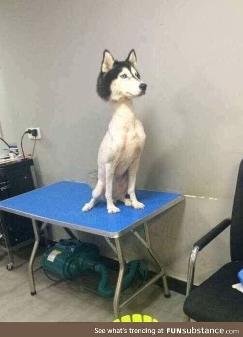 What does a shaved Husky look like?