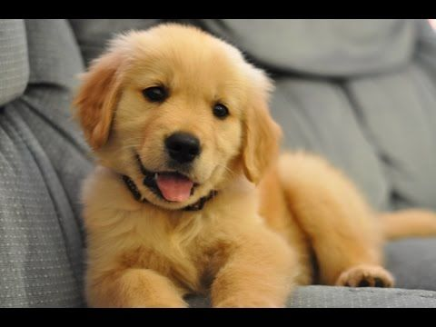 Now I want a golden retriever puppy