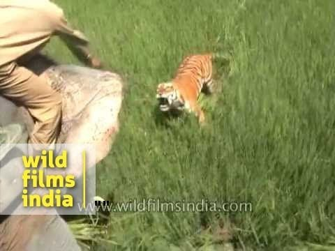 Tiger attacks people riding on an elephant