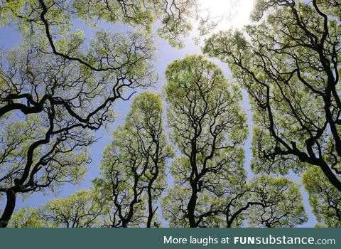 Crown shyness, a phenomenon where the leaves of individual trees don't touch others