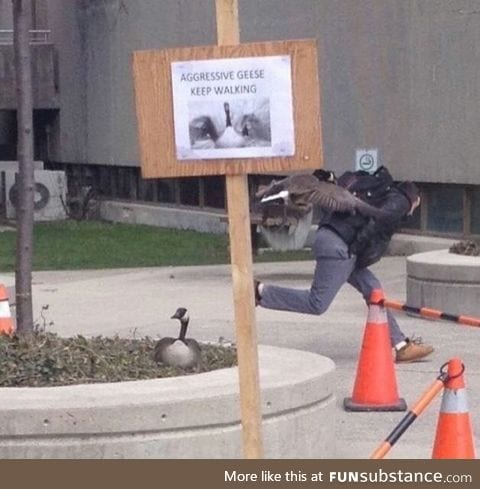 Aggressive geese