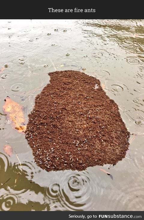 Fire ants form a protective island as they float out the Houston flood
