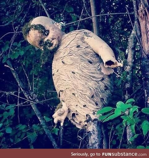 Wasps build nest around a discarded child's doll