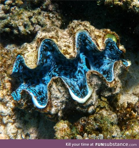 The inside of a giant clam