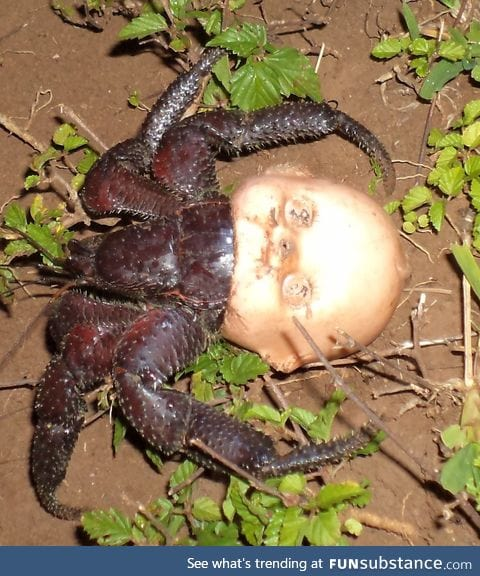 Hermit crab using a discarded doll head for a shell
