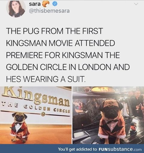 All pugs should wear suits