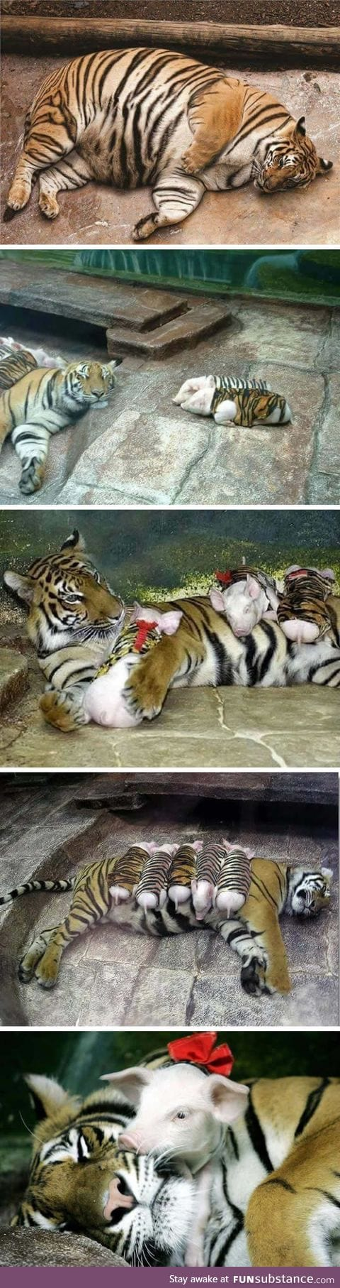 Zookeepers use piglets in tiger stripes to comfort a tigress who lost her cubs