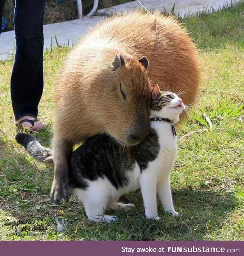 Capybaras like most animals, apparently