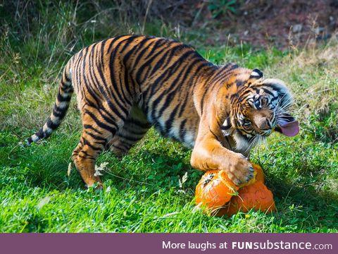 Sumatran Tiger loves pumpkin.
