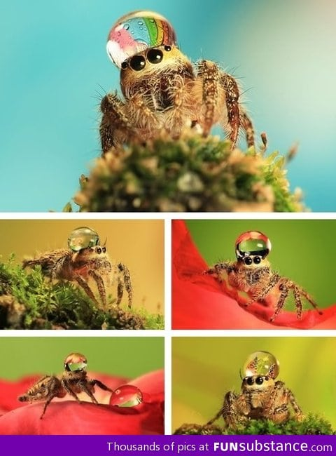 Jumping Spider Water Hat Meme Jumping Spider Wearing a Water