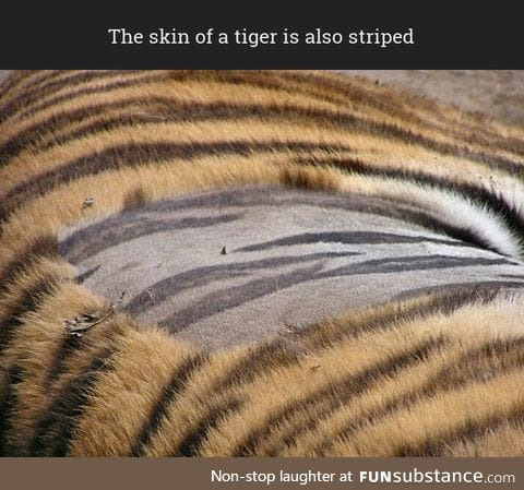 Have you ever seen a tiger's skin?