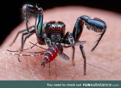 Spider eating a mosquito drinking blood from a human