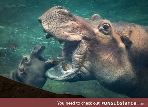 Fiona the hippo's father Henry dies at 36 years old, RIP Henry.