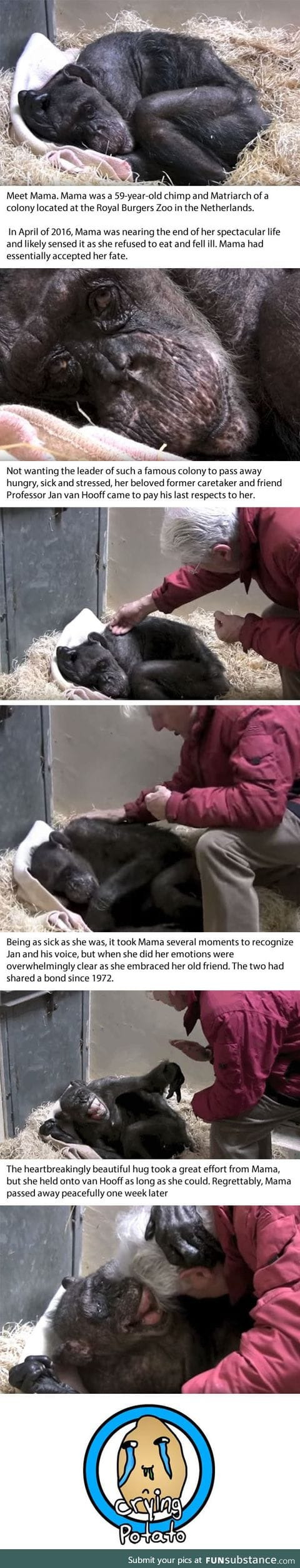Dying 59-Year-Old Chimp Recognises Her Old Caretaker's Voice