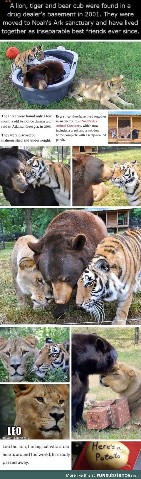 Leo, Baloo and Shere Khan