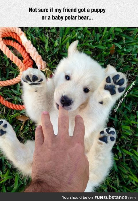 Not sure if puppy or polar bear