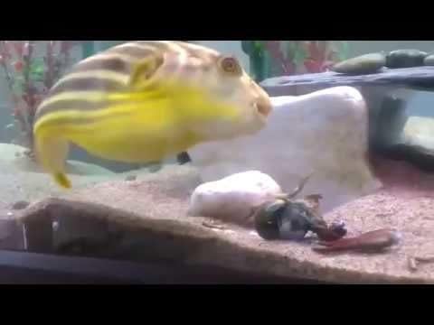Shrimp regrets pinching puffer fish