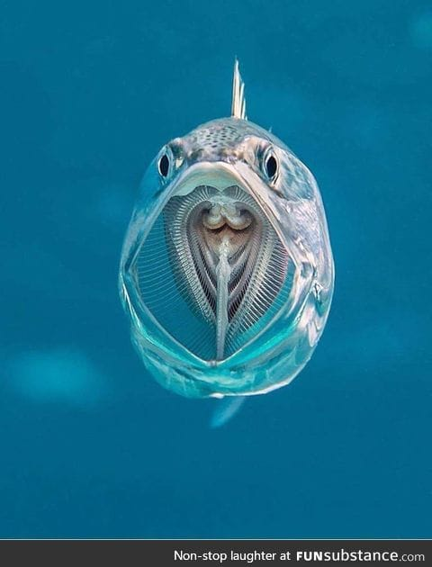Perfect shot of a this striped Mackerel opening its mouth