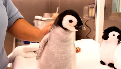 This is how you feed a one month old emperor penguin